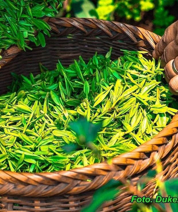 Zielona herbata przeciw starzeniu ( picie tej herbaty opóźnia proces starzenia się ). - Gorące