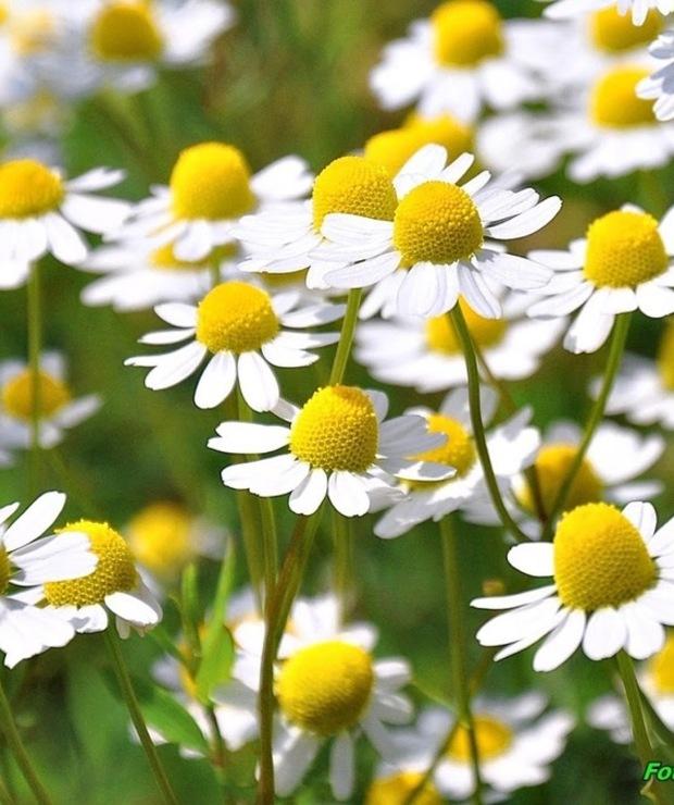 Nalewka z suszonych kwiatów rumianku ( doskonała przy zaburzeniach trawiennych i nie tylko). - Alkoholowe