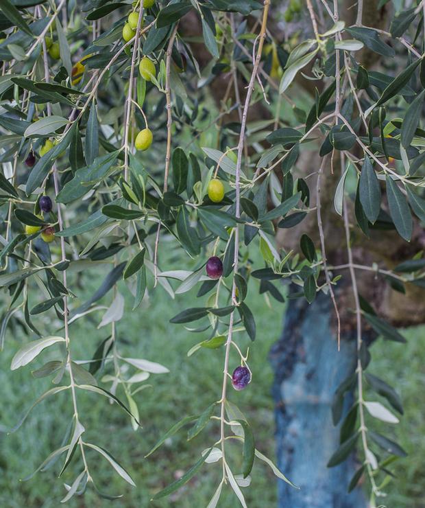 Jak powstaje oliwa z oliwek? - Relacja z wizyty u Monini w Spoleto - Produkty