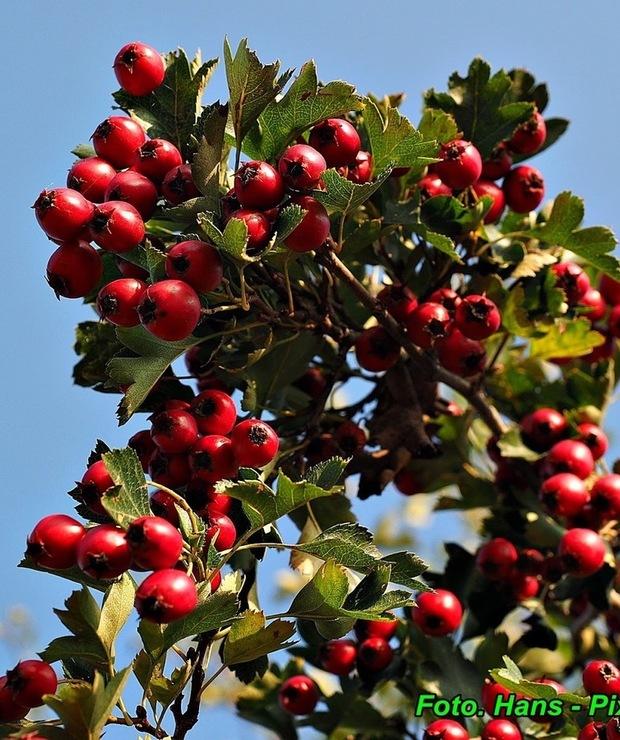 Konfitura jabłkowa z owocami głogu.  - Owocowe